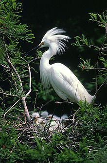 Herons... long-legged freshwater and coastal birds...64 recognized species...sometimes called egrets or bitterns...