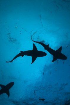Lemon sharks in the rain Bahamas, Tiger beach by Florian Niethammer