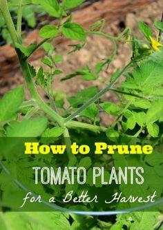101 Gardening: How to Prune Tomato Plants for Better Harvest #Organic_Gardening
