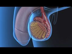 Human Physiology - Functional Anatomy of the Male Reproductive System - YouTube