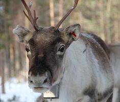 Pello belongs to the Northern Finland Reindeer Husbandry District. You can even sometimes meet reindeer in the urban areas of … Finland Travel, Lapland Finland, Lappland, Arctic Circle, Reindeer, Travel Destinations, Northern Lights, Best Friends, Wildlife