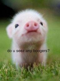 Teacup pig...precious