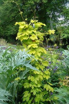Хмель обыкновенный «Aurea»  Humulus lupulus «Aurea»