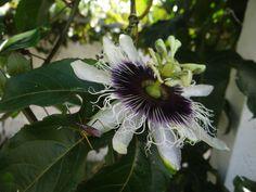 A primeira flor de maracujá ®SKLindemann