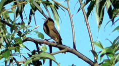 Berki tücsökmadár (Locustella fluviatilis) hangja