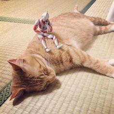 いいね!1,656件、コメント12件 ― @komagram2015のInstagramアカウント: 「うたたねの午後 #猫 #子猫 #茶トラ #cat #kitten」