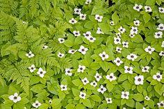 Kanadischer Hartriegel, Cornus canadensis, Bunchberry - (Dwarf Dogwood)