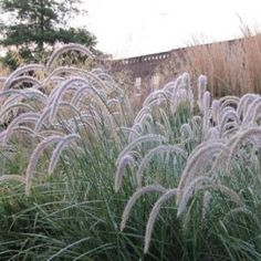 Fairy Tales Fountain Grass-Pennisetum 'Fairy Tales'-a spring blooming ornamental with large wheat colored plumes. The lovely blue green foliage is clump forming & extends into graceful arches. Its size stays somewhat compact for a grass, making it ideal for container & mass plantings, as well as for rock gardens and anywhere you need a nice accent in the landscape. Other than requiring full sun, Pennisetum 'Fairy Tales' is low maintenance and very adaptable to a wide variety of soil…