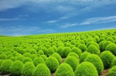 Plant Seeds Kochia Scoparia Grass Summer Cypress 1 Bag 100 Bush Rare Rapid Grow