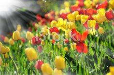 Sunlit tulips against dark background and sunbeams Royalty Free Stock Photo