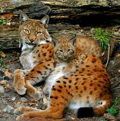 Beautiful Eurasian lynx curled up with her cute cub. Small Wild Cats, Big Cats, Cool Cats, Cats And Kittens, The Animals, Cute Baby Animals, Beautiful Cats, Animals Beautiful, Baby Cheetahs