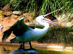 Pelican Adelaide Zoo #dailyshoot  Part of a pair of pictures that I took of this magnificent Pelican bird sunning itself in the Zoo in Adelaide Australia. I tried at the time to compose the picture to exclude the ducks who were inisistent on being in the picture. In the end gave up and then tried to make them part of the image!!. Image copped an contrast reset.