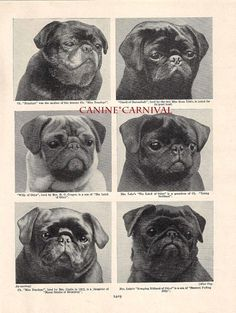 Mostly Black, One fawn. The photo features 6 Champion Pug. this is from a British publication so these are British dogs. This hard to find print will have the original caption included. Pug Pictures, Animal Pictures, Pug Photos, Black Pug Puppies, Pug Art, Cute Pugs, Funny Pugs, Pug Love, Vintage Photos