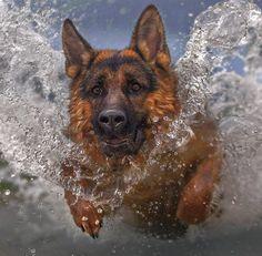 Amazing action shot!!  #German #shepherd