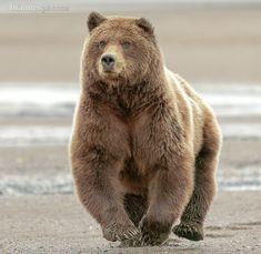 Brown Bear Baby Panda Bears, Polar Bear, Baby Pandas, Grizzly Bears, Love Bear, Big Bear, Cute Baby Animals, Animals And Pets, Wild Animals