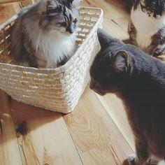 .。*・゚゚ そろそろ かわってください  いやです  かわってください  い いやです  #順番待ち#かご猫#名前はちびとあおちゃんとひめ#長毛猫#三毛猫#愛猫#猫#ねこ#にゃんこ#ネコ#Cats#猫部屋#猫多頭飼い#猫7匹#猫のいる暮らし#猫と暮らす#猫達との生活#ネコスタグラム#ねこすたぐらむ#ニャンスタグラム#にゃんすたぐらむ#catstagram#にゃんだふるらいふ#猫部#ふわもこ部#猫好きさんと繋がりたい#猫大好き#やっぱり猫が好き