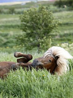 Pretty chocolate brown horse with blonde full bushy mane having fun rolling in the tall green grass. Awe...feels good!
