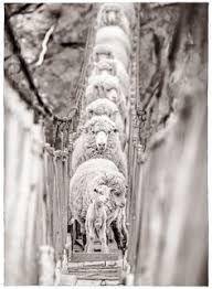 Resultado de imagen de eliseo miciu sheep
