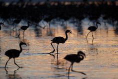 """""""Flamingo chicks walk away from volunteers towards an enclosure before they are tagged in Fuente de Piedra lake on July 19, 2014 in Fuente de Piedra, Spain. Fuente de Piedra lagoon is a natural reserves with more than 170 different species recorded and one of the main breeding grounds for Flamingos in Iberian Peninsule. Hundreds of flamingo chicks are tagged and checked to record the evolution of the species.""""  (Pablo Blazquez Dominguez/Getty Images)"""