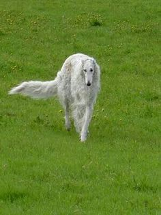 White borzoi on a green lawn – what a beautiful picture! #animals #dogs #borzoi