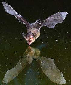 Cómo fotografiar a un murciélago bebiendo  Las fotografías de estos murciélagos (Plecotus auritus) que se mueven a unos 30 kilómetros por hora, baten las alas tan rápido que el ojo humano no puede apreciarlo y salen únicamente por la noche no son nada fáciles de realizar.