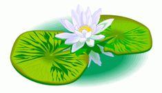 Weisse Seerose Auf Blaettern - Blumen