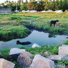 Una #vaca toma un #baño mientras la otra #pasta ... #cow #cowbath #bath #kerala #india #kochi #kochin #cochi #cochin