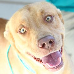 *SCAMPER - ID#A743923  Shelter staff named me SCAMPER.  I am a male, gold Pit Bull Terrier mix.  The shelter staff think I am about 1 year a...