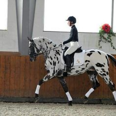 Dressage. Wow! I love a leopard spotted horse!