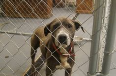 """URGENT!!!  """"Ma"""" ID#2013-08-029 Lab/pitX 5-7years 53lbs female friendly WINDER, GA This very sweet & pretty girl was given a reprieve  she was the only dog on the Euthanasia list that had NO real interest or networking. PLEASE SHARE her like crazy because she will not be given another reprieve!!  Barrow County Animal Control Shelter  616 Barrow Park Drive Winder, GA 30680   https://www.facebook.com/photo.php?fbid=556052301124637=a.405052182891317.92896.366722686724267=1=nf"""