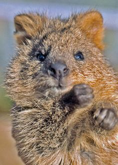 quokka  www.BusinessBuySell.gr ΠΩΛΗΣΕΙΣ ΕΠΙΧΕΙΡΗΣΕΩΝ ΔΩΡΕΑΝ ΑΓΓΕΛΙΕΣ ΠΩΛΗΣΗΣ ΕΠΙΧΕΙΡΗΣΗΣ BUSINESS FOR SALE FREE OF CHARGE PUBLICATION