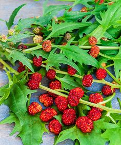 Strawberry Blite is an edible annual plant, also known as Blite Goosefoot, Strawberry Goosefoot, Strawberry Spinach, Indian Paint, and Indian Ink.