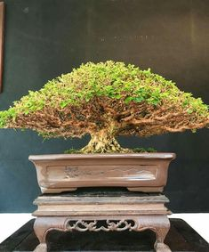 Bonsai Ficus, Mame Bonsai, Bonsai Art, Bonsai Trees, Great Hobbies, Tree Designs, Tree Art, Horticulture, Greenery