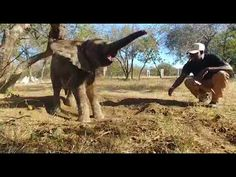 Orphaned elephant Mopane, loves playing Sand Games with Joshua, his carer, at HESC Sand Game, Orphan, Endangered Species, Baby Elephant, Elephants, Horses, Games, Animals, Elephant Baby