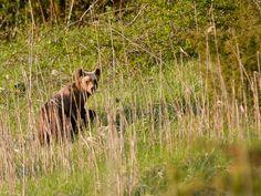 Italy - Lazio - Little Marsican brown bear (Orso bruno Marsicano) from Abruzzo, Lazio and Molise National Park