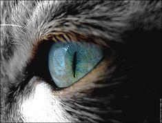 regard chat oeil bleu (accord du photographe demandé )
