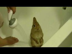 An adorable little pale brown pet bunny getting a gentle spray rinse.