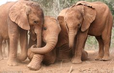 Best friends: Suguta, Kibo and Nchan like to spend their days playing together and will ev... In Memory of Mommy who Loved the elephants  Nancy Lou Dillard