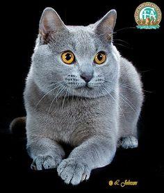 Lindo gato chartreaux