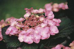 Hydrangeas - I love hydrangeas