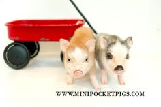 Honest Reputable breeder of small high quality and small indoor pet pigs. Mini Pigs For Sale, Pocket Pig, Indoor Pets, Pet Pigs, Super Cute Animals