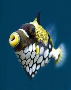 Peixe Porco Palhaço (Balistoides conspicillum)