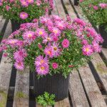 Following these tips for planting fall mums and winter pansies will help you keep color in the garden all year round. Pansies and mums come in a rainbow of colors. With just a little effort, your garden will be lively all the way to spring.