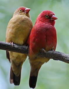 The Red-billed Firefinch or Senegal Firefinch (Lagonosticta senegala) is a small passerine bird. This estrildid finch is a resident breeding bird in most of sub-Saharan Africa