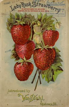 """heaveninawildflower: """" Front cover illustration of 'Lady Rusk Strawberry' - Introduced by Wm. Taken from 1900 catalogue. Department of Agriculture, National Agricultural. Vintage Labels, Vintage Postcards, Vintage Images, Vintage Designs, Strawberry Pictures, Strawberry Seed, Strawberry Patch, Strawberry Fields, Vintage Seed Packets"""