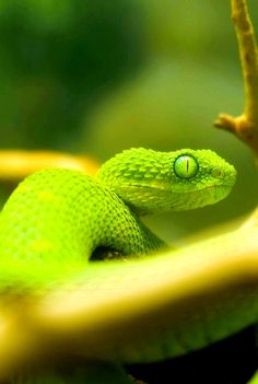 Brilliant green viper.  Look at those gorgeous eyes!!!