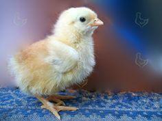 Многие птицеводы не знают что делать когда вылупляются цыплята, а ведь правильное содержание цыплят в первые дни их жизни будут способствовать их дальнейшему росту и развитию. http://kurinyjdom.ru/razmnozhenie-kurits/chto-delat-kogda-vyluplyayutsya-tsyplyata.html