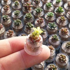 봄봄봄~   #리틀잼 #꽃 #다육새싹 #선인장 #새싹화분 #새싹분재 #미니화분 #마음화분 #cactus #bonsai #succulents #miniplant #emotipot