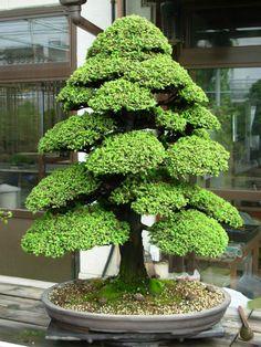 Sacred Japanese Cedar - 50 Pcs Semillas Bonsai Seeds
