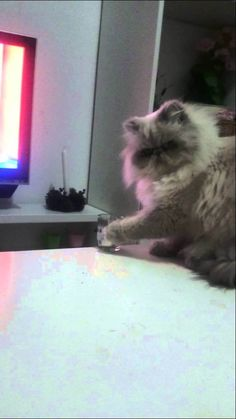 "A rebellious cat hesitates for just a second before defiantly knocking a glass of water over the edge of a table in the face of of his human Jennifer's repeated protests. Gato malo (""bad cat"") inde..."
